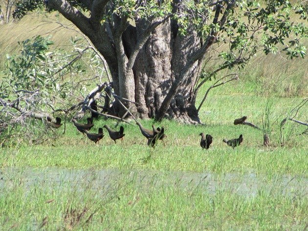 Black-tailed Native-hens (6)