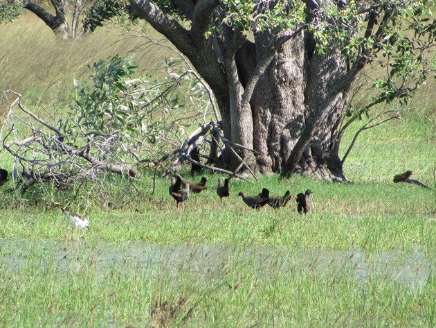 Black-tailed Native-hens (7)