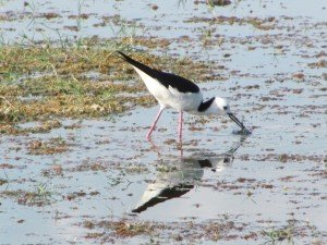 Black-winged Stilt (10)