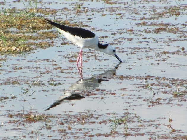 Black-winged Stilt (11)