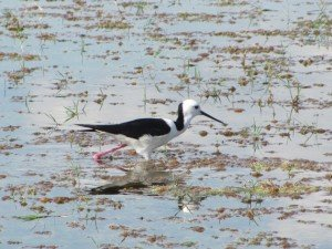 Black-winged Stilt (2)