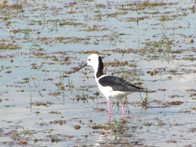 Black-winged Stilt (4)