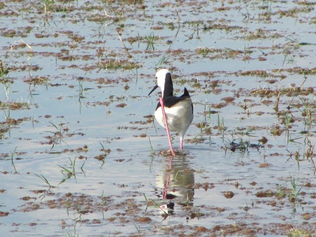 Black-winged Stilt (5)