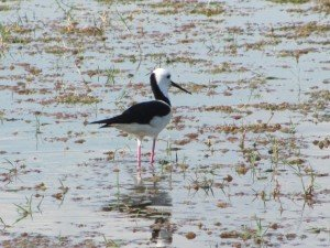 Black-winged Stilt (6)