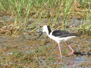 Black-winged Stilt (8)