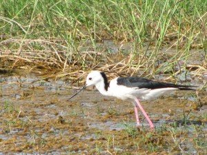 Black-winged Stilt (9)