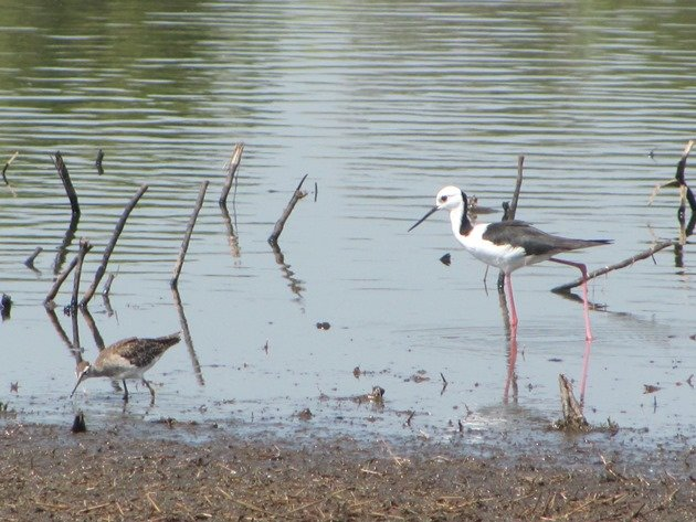 Black-winged Stilt & Wood Sandpiper