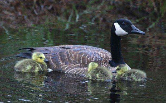 Bloomingdale Bog Canada Goose