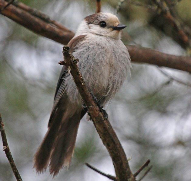 Bloomingdale Bog Gray Jay
