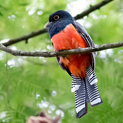 Blue-crowned Trogon