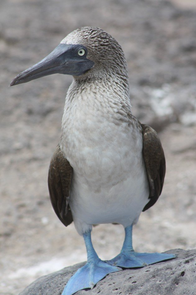 Blue footed Booby - Natalia Ocampo