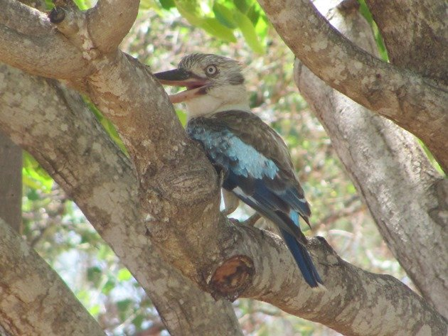 Blue-winged Kookaburra (2)