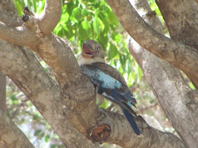 Blue-winged Kookaburra (3)