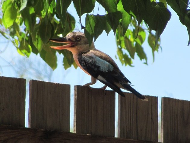 Blue-winged Kookaburra (4)