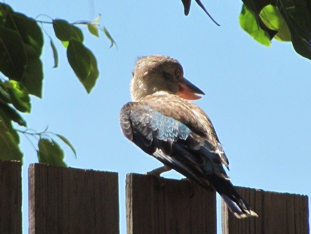 Blue-winged Kookaburra (7)