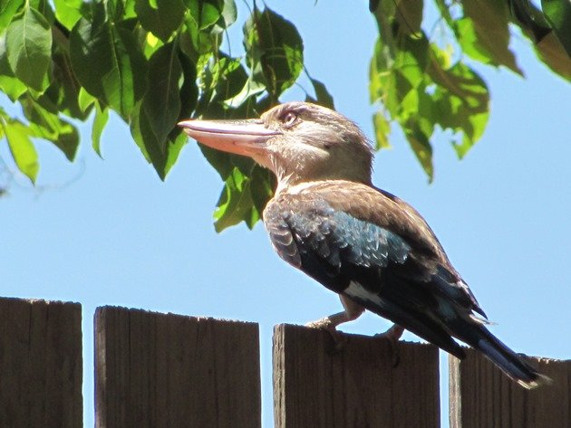 Blue-winged Kookaburra (8)