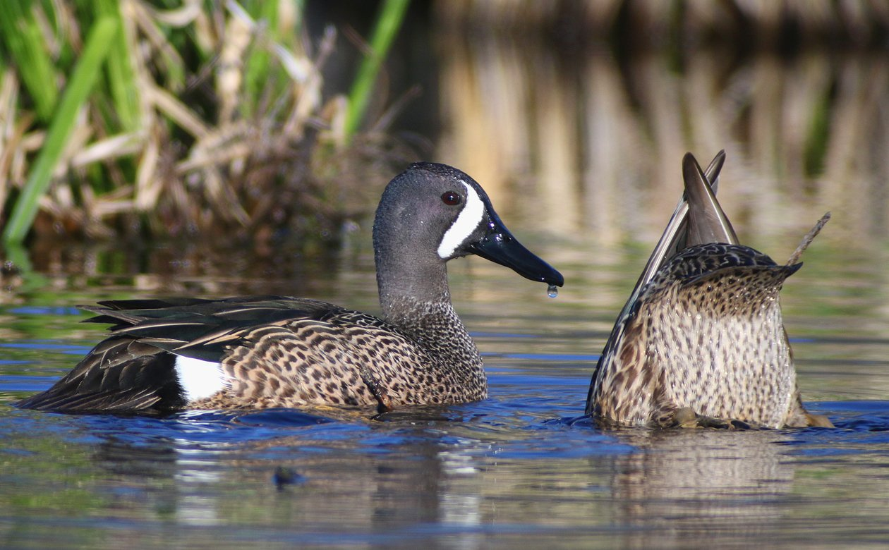 Blue-winged Teal at the Great Vly