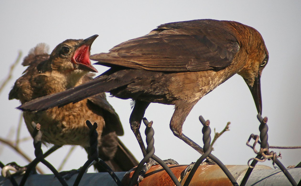 Boat-tailed Grackle done feeding