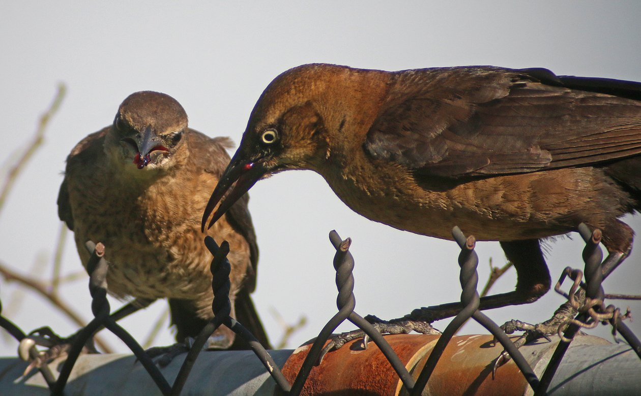 Boat-tailed Grackle eating mulberries
