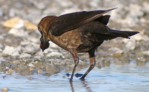 Boat-tailed Grackle washing mulberries