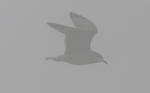 Bonaparte's Gull in the fog