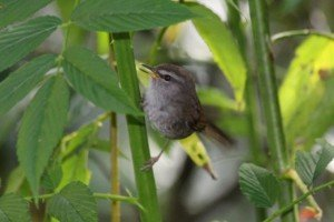 Sunda Bush-warbler