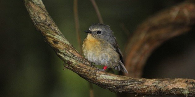 The Birds of Mt Kinabalu