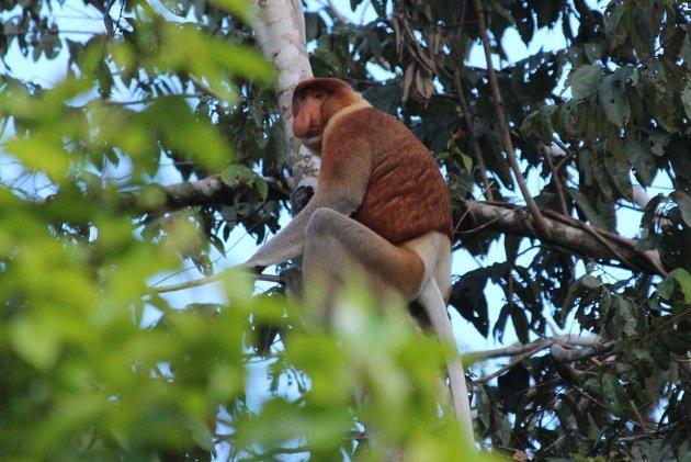 Probosis Monkey