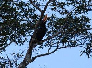 Rhinoceros Hornbill