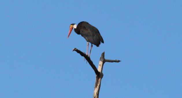 Storm's Stork