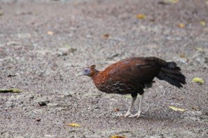 Crested Fireback
