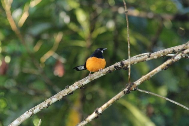 White-crowned Shama distant (630x420)