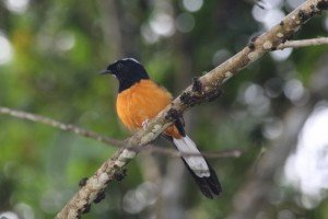 White-crowned Shama (630x420)