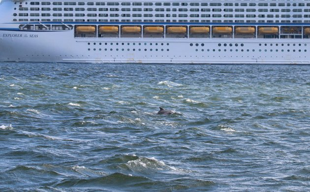 Bottlenose Dolphin with cruise ship