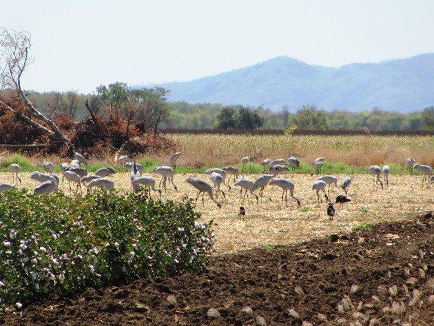 Brolga & Straw-necked Ibis