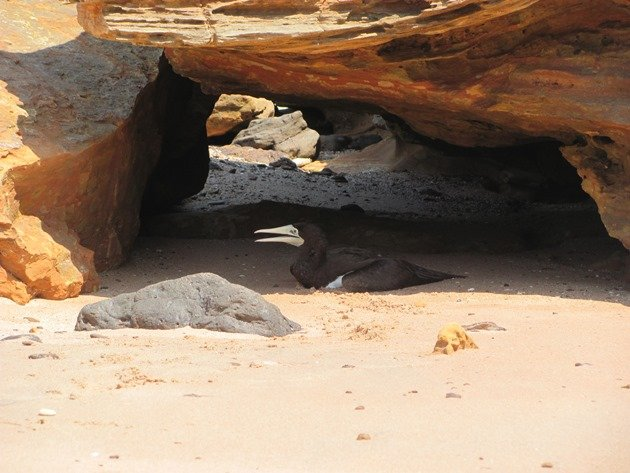 Brown Booby (5)
