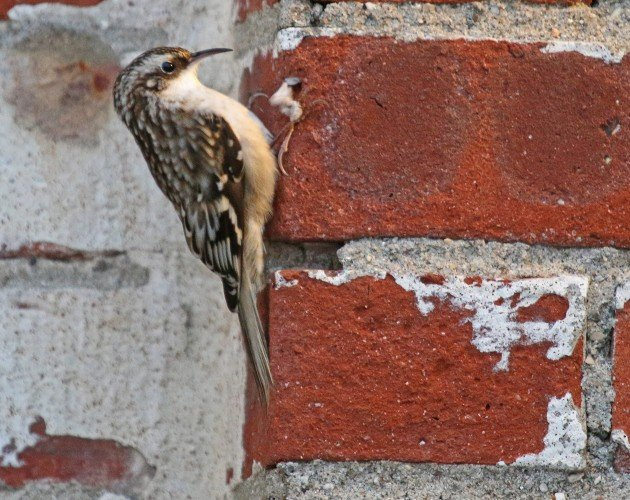 Brown Creeper makes a discovery