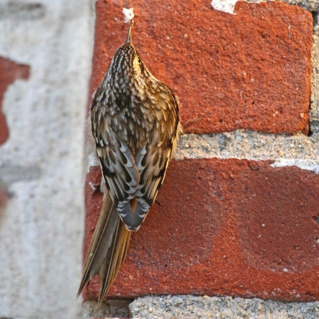 Brown Creeper on wall with silk