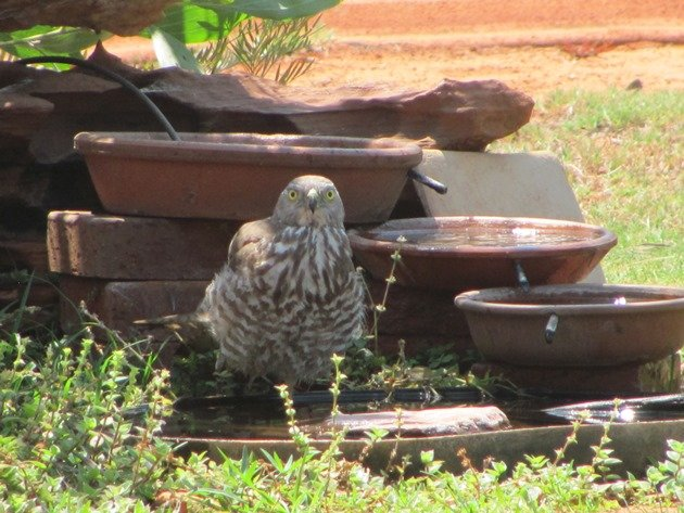 Brown Goshawk cooling off (2)