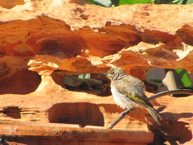 Brown Honeyeater (2)