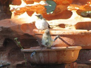 Brown Honeyeaters (3)