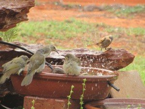 Brown Honeyeaters