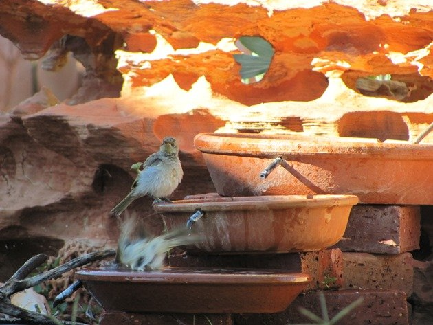 Brown Honeyeaters (4)