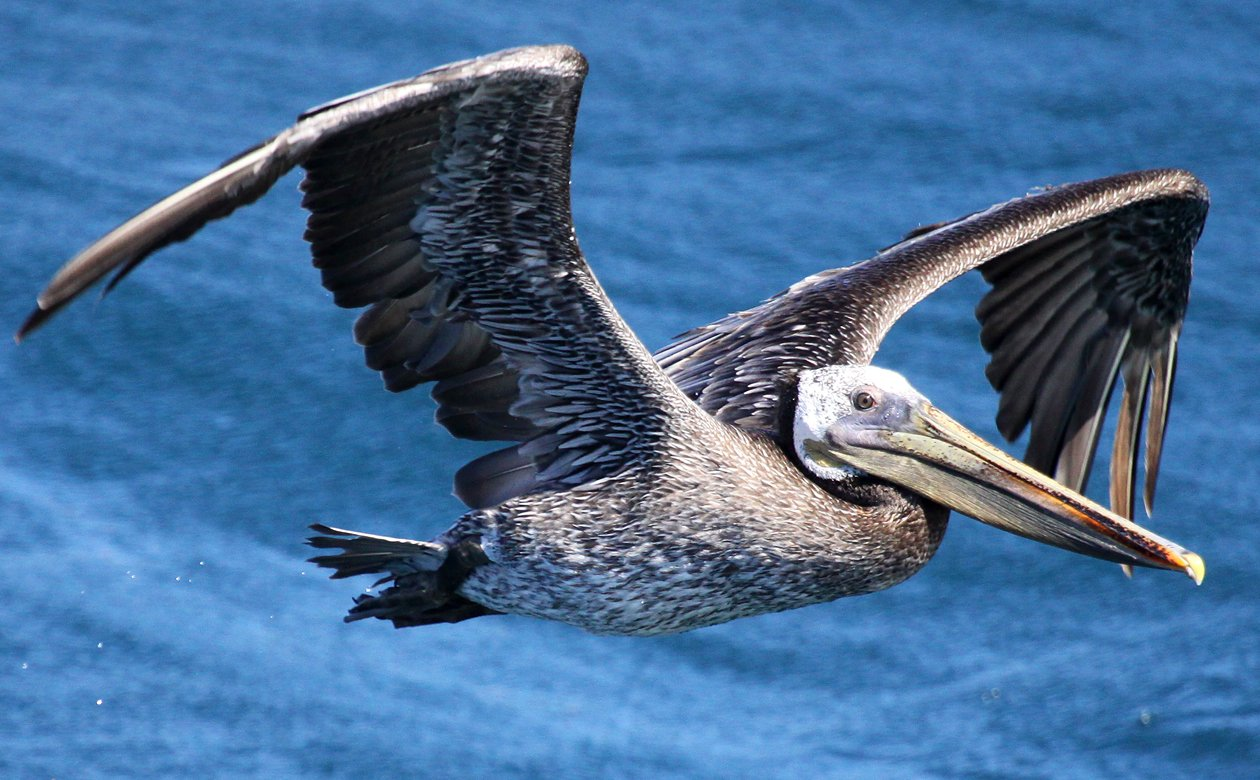 Brown Pelican Pelecanus occidentalis