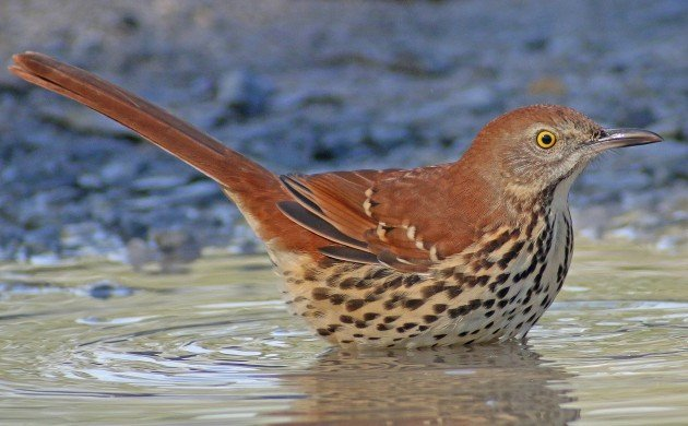 Brown Thrasher bathing