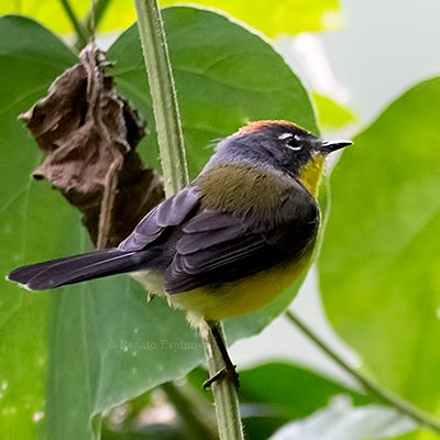 Brown-capped Redstart