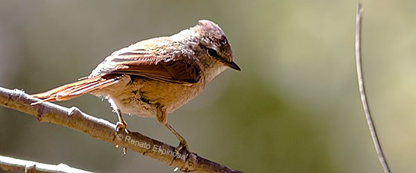 Brown-capped-Tit-Spinetail