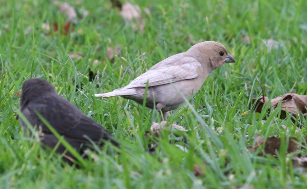 Brown-headed Cowbird leucistic 2