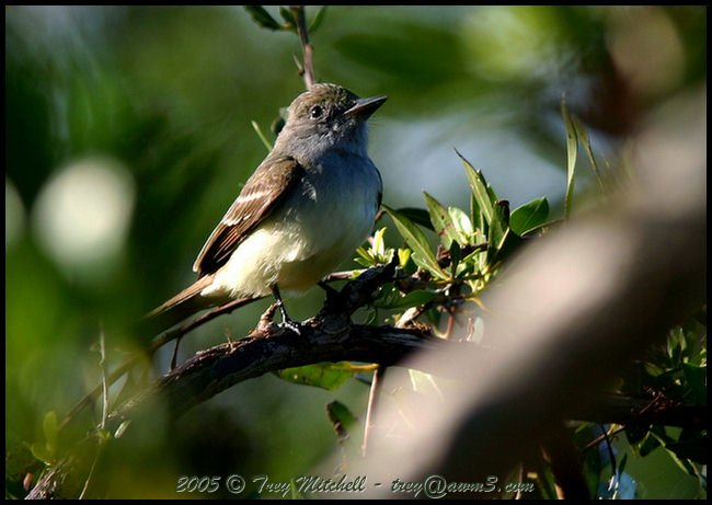 Brown-crested Flycatcher 2