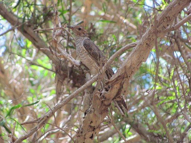 Brush Cuckoo (2)